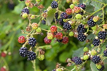 Shrubby Blackberry (Rubus fruticosus) ripe and unripe fruits, Nijmegen, Netherlands  -  Jelger Herder/ Buiten-beeld