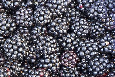Shrubby Blackberry (Rubus fruticosus) picked fruits, Nijmegen, Netherlands  -  Jelger Herder/ Buiten-beeld