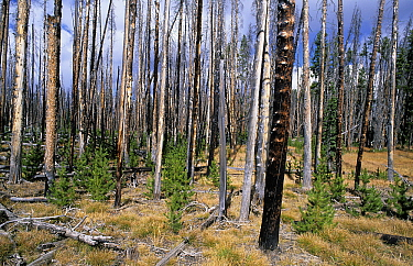 New growth after a forest fire, Yellowstone National Park, California  -  Wil Meinderts/ Buiten-beeld