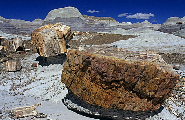 Petrified wood in landscape, Petrified Forest National Park, Arizona  -  Wil Meinderts/ Buiten-beeld