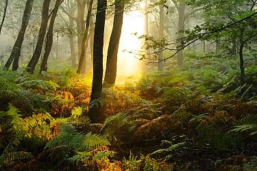 Morning light in forest, Rheden, Netherlands  -  Bendiks Westerink/ Buiten-beeld