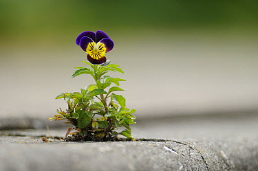 Violet (Viola sp) growing out of pavement, Heteren, Netherlands  -  Bendiks Westerink/ Buiten-beeld