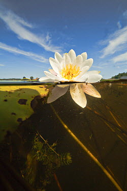 White Water Lily (Nymphaea alba) flower, Wanneperveen, Netherlands  -  Ruben Smit/ Buiten-beeld