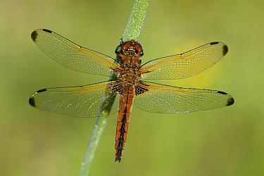 Scarce Chaser (Libellula fulva) dragonfly, Dordrecht, Netherlands  -  John van den Heuvel/ Buiten-beel