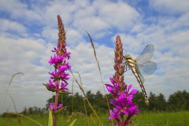 Migrant Hawker (Aeshna mixta) dragonfly in marshland reserve, Wanneperveen, Netherlands  -  Ruben Smit/ Buiten-beeld
