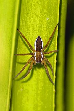 Raft Spider (Dolomedes fimbriatus) male, Dwarsgracht, Netherlands  -  Ruben Smit/ Buiten-beeld