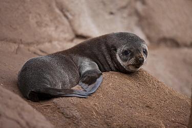 Subantarctic Fur Seal (Arctocephalus tropicalis) pup, Nightingale Island, Tristan da Cunha  -  Lex van Groningen/ Buiten-beeld