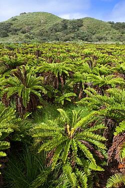 Gough Tree Fern (Blechnum palmiforme), Nightingale Island, Tristan da Cunha  -  Lex van Groningen/ Buiten-beeld