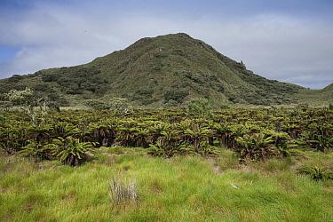 Gough Tree Fern (Blechnum palmiforme) forest, Nightingale Island, Tristan da Cunha  -  Lex van Groningen/ Buiten-beeld