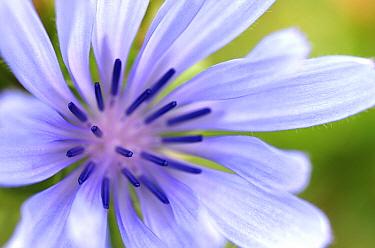 Chicory (Cichorium intybus) flower, Kamperland, Netherlands  -  Hannie Joziasse/ Buiten-beeld