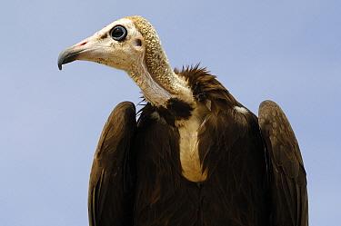 Hooded Vulture (Necrosyrtes monachus), Burkina Faso, west Africa  -  Wil Meinderts/ Buiten-beeld