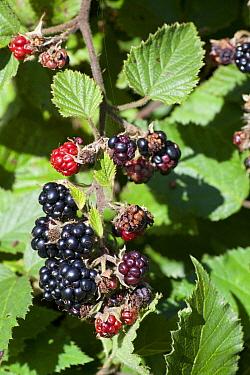 Bramble (Rubus sp) ripe and unripe berries, Texel, Netherlands  -  Mark van Veen/ Buiten-beeld