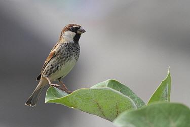 Spanish Sparrow (Passer hispaniolensis) male, Tenerife, Spain  -  Chris van Rijswijk/ Buiten-beeld