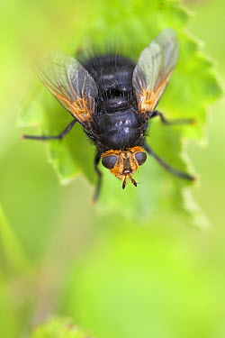 Giant Tachinid Fly (Tachina grossa), Deurne, Netherlands  -  Jelger Herder/ Buiten-beeld