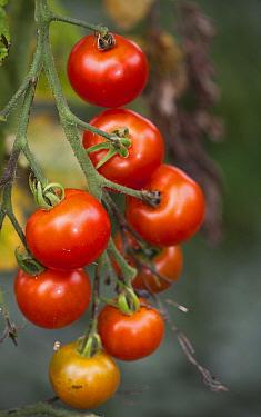 Tomato (Lycopersicon esculentum) cluster, Broek op Langedijk, Netherlands  -  Jelger Herder/ Buiten-beeld