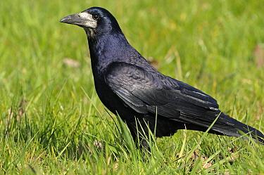 Rook (Corvus frugilegus), Bommelerwaard, Netherlands  -  Wil Meinderts/ Buiten-beeld
