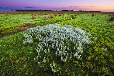 Sea Wormwood (Artemisia maritima) in coastal tidal marsh, Kwade Hoek, Netherlands  -  Nico van Kappel/ Buiten-beeld