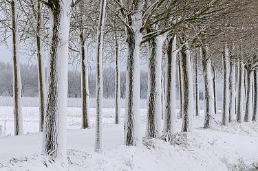 Snowy winter landscape of trees lining road, Lingewaal, Netherlands  -  Wil Meinderts/ Buiten-beeld