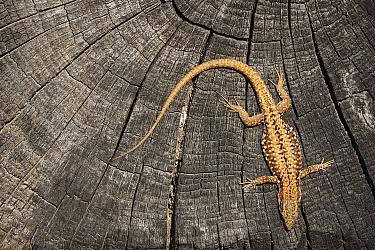 Common Wall Lizard (Podarcis muralis), Ardennes, Belgium  -  Wouter Pattyn/ Buiten-beeld