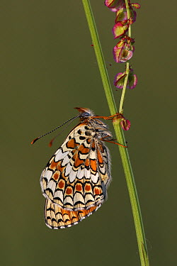 Knapweed Fritillary (Melitaea phoebe) butterfly, Indre, France  -  Wouter Pattyn/ Buiten-beeld