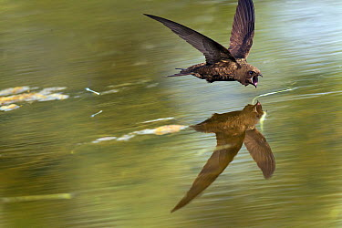 Common Swift (Apus apus) foraging with open bill over water's surface, Netherlands  -  Ran Schols/ Buiten-beeld