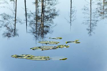 White Water Lily (Nymphaea alba) pads with tree reflections, Kuhmo, Finland  -  Johan van der Wielen/ Buiten-bee