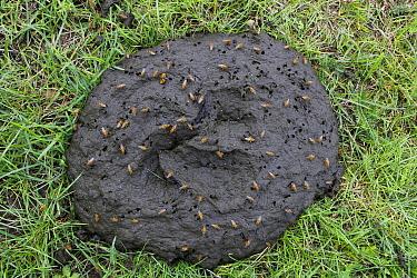 Yellow Dung Fly (Scathophaga stercoraria) attracted to fresh cow dung, Rijssen, Netherlands  -  Jan-Luc van Eijk/ Buiten-beeld