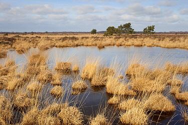 Moor Grass (Molinia caerulea) in a fen, Neerkant, Netherlands  -  Bob Luijks/ Buiten-beeld