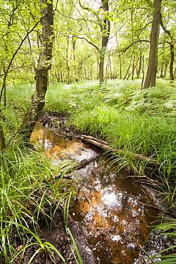 Lesser Pond Sedge (Carex acutiformis) growing along stream, Herkenbosch, Netherlands  -  Bob Luijks/ Buiten-beeld