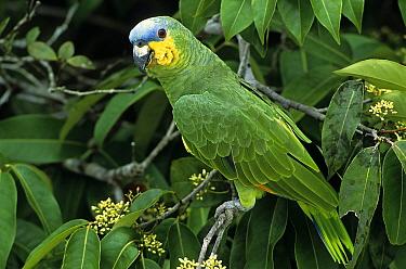 Orange-winged Parrot (Amazona amazonica), Brazil  -  Wil Meinderts/ Buiten-beeld
