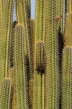 Pitayo de Mayo (Stenocereus griseus) cactus, Curacao  -  Wil Meinderts/ Buiten-beeld