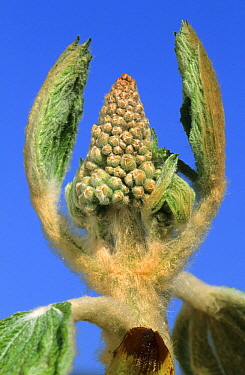 Horse Chestnut (Aesculus hippocastanum) budding flower panicle, Netherlands  -  Wil Meinderts/ Buiten-beeld