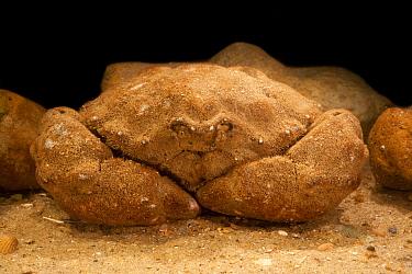 Sponge Crab (Dromia personata), England  -  Karl Van Ginderdeuren/ Buiten-be