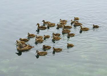 Common Eider (Somateria mollissima) adult leading a large creche of ducklings, Iceland  -  Wil Meinderts/ Buiten-beeld