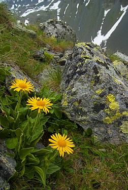 Tufted Leopard's Bane (Doronicum clusii), Swiss National Park, Switzerland  -  Nico van Kappel/ Buiten-beeld