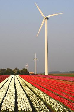 Tulip (Tulipa sp) cultivation with wind turbines, Gelderland, Netherlands  -  Wouter Pattyn/ Buiten-beeld