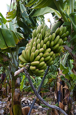 Banana (Musa sp) fruit cluster ripening on a plantation, La Palma Island, Spain  -  Bendiks Westerink/ Buiten-beeld