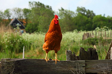 Domestic Chicken (Gallus domesticus) rooster, Den Hoorn, Netherlands  -  Dick Pasman/ Buiten-beeld