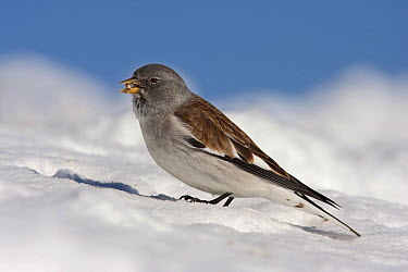 White-winged Snowfinch (Montifringilla nivalis) in snow, Les Menuires, France  -  Henny van Egdom/ Buiten-beeld