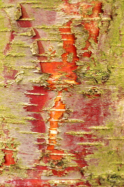 European White Birch (Betula pendula) bark, Oostkapelle, Netherlands  -  Hannie Joziasse/ Buiten-beeld