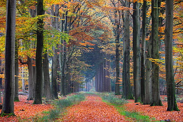 A tree-lined lane in autumn, Lochem, Netherlands  -  Dick Pasman/ Buiten-beeld