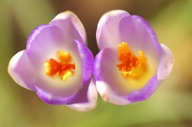 Botanical Crocus (Crocus tommasinianus) flowers, Middelburg, Netherlands  -  Hannie Joziasse/ Buiten-beeld