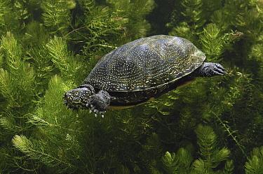 European Pond Turtle (Emys orbicularis) swimming, Europe  -  Wil Meinderts/ Buiten-beeld