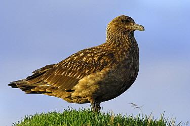 Great Skua (Catharacta skua), Iceland  -  Wil Meinderts/ Buiten-beeld