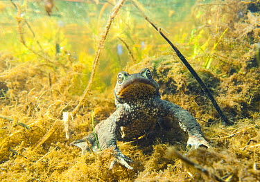 European Toad (Bufo bufo) underwater amid vegetation, Kwade Hoek, Netherlands  -  Nico van Kappel/ Buiten-beeld
