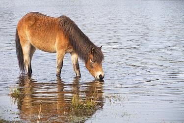 Exmoor Pony (Equus caballus) drinking, Oss, Netherlands  -  Jelger Herder/ Buiten-beeld