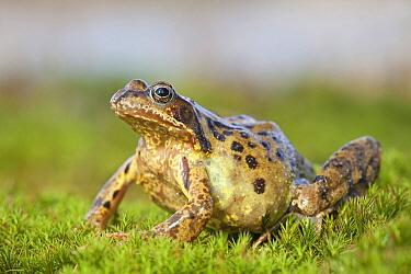 Common Frog (Rana temporaria) female on moss, Oss, Netherlands  -  Jelger Herder/ Buiten-beeld
