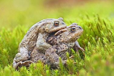 European Toad (Bufo bufo) pair in amplexus, Oss, Netherlands  -  Jelger Herder/ Buiten-beeld