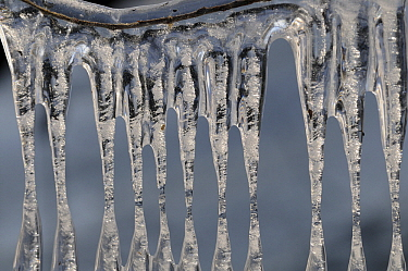 Ice on tree branches after drop in water level during cold weather, Maasdriel, Netherlands  -  Wil Meinderts/ Buiten-beeld