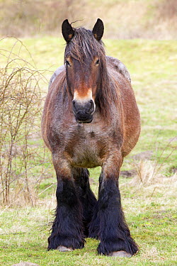 Domestic Horse (Equus caballus), Oeffelt, Netherlands  -  Jelger Herder/ Buiten-beeld